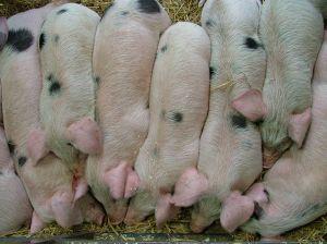 energia prodotta dagli escrementi dei maiali