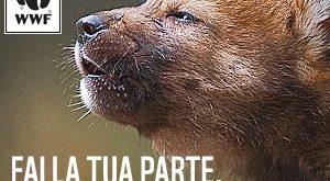"""WWF, campagna """"Adotta un lupo, ora"""""""