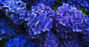 storia fiore ortensia